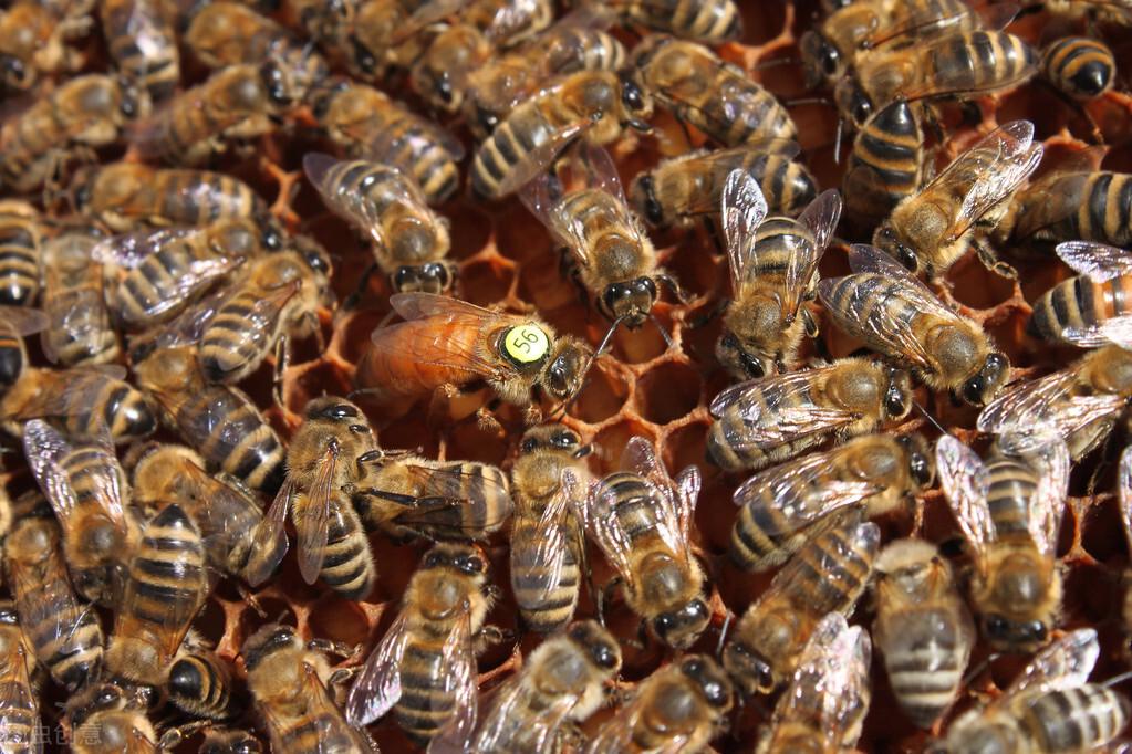 蜜蜂卵怎么分辨公母(蜜蜂的卵是什么样子的
