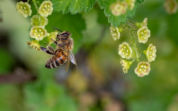 蜜蜂是怎么分工的(蜜蜂分工明确是什么行为)