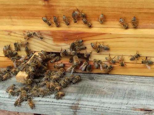 初次养蜂需要注意什么(初学养蜂的基本常识)