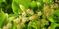 什么是椴树蜜(椴树蜜的特点)