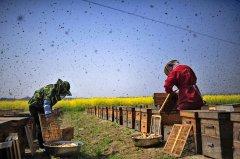 养中蜂的详细技术方法(最新中蜂养殖技术大全)