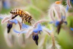 中蜂养殖技术及注意事项(中蜂养殖中药注意什么问题)