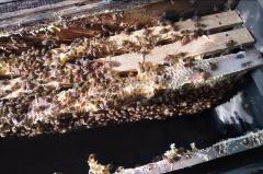中蜂人工分蜂方法技巧(中蜂怎样人工分蜂比较好)