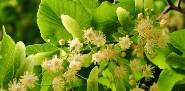 椴树蜜属于几等蜂蜜(什么是椴树蜂蜜)