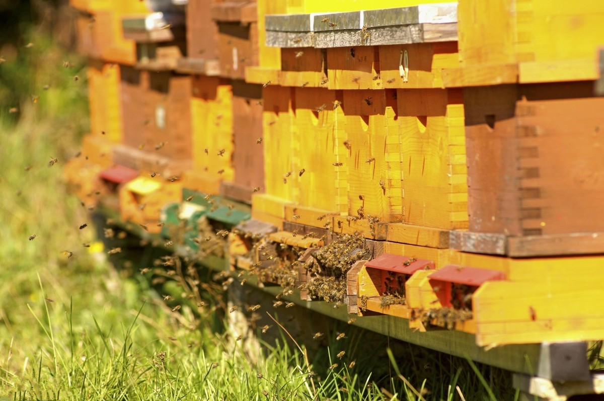 蜜蜂中的蜂王是什么性别(蜂王跟蜜蜂有什么区别)