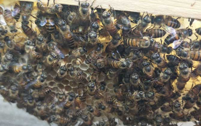 不让蜜蜂分蜂怎么解决(怎么防止蜜蜂自然分蜂且维持强群)