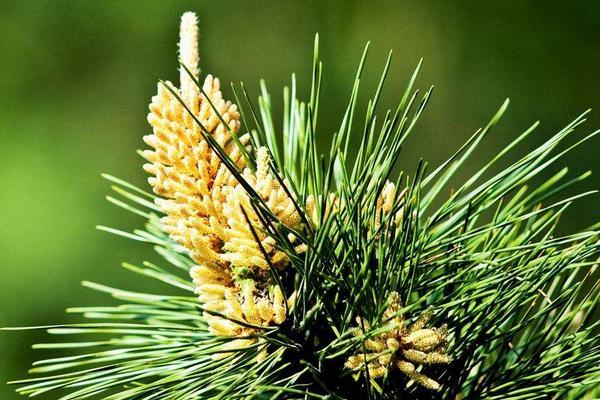 什么是松花粉(松花粉是干什么用的)