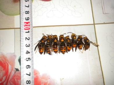 胡蜂怎么区别蜂王和雄蜂(胡蜂工蜂和蜂王怎么分)