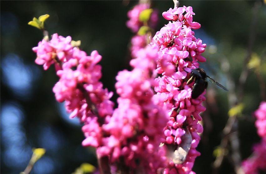 木蜂会产蜜吗(木蜂有蜜吗)