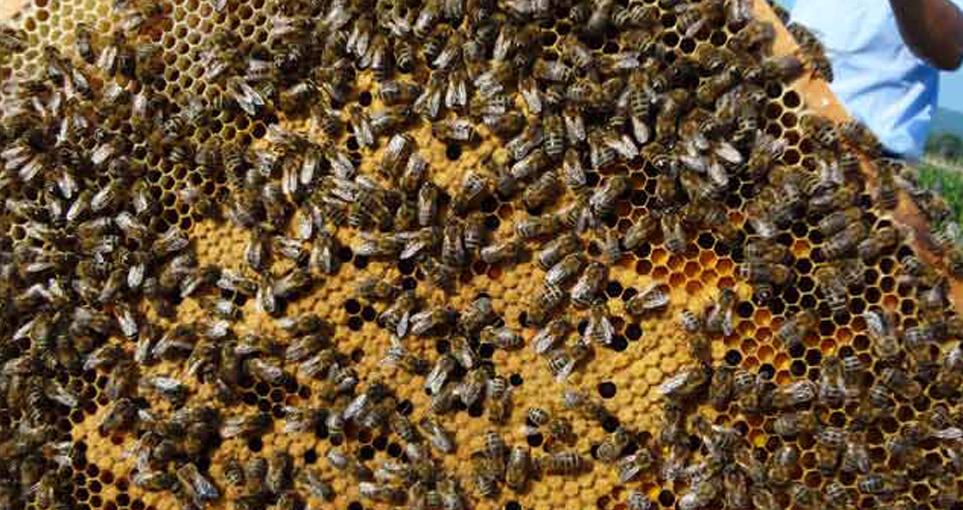 东北黑蜂是土蜂还是意蜂(东北黑蜂和中华蜜蜂的区别)