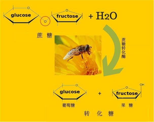 蜂蜜是蜜蜂吐出来还是拉出来的(蜜蜂产蜜过程详解)