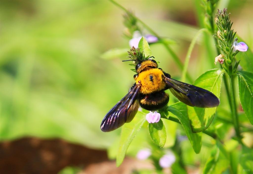 木蜂的毒性强吗(木蜂的毒性有多大)