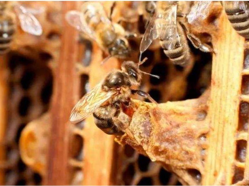 蜂王的寿命是工蜂的多少倍(蜂王和蜜蜂的寿命有多长)