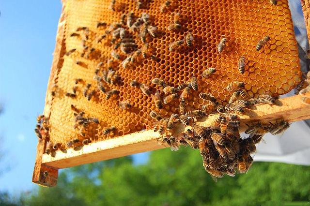 蜜蜂幼虫病怎么治疗(蜜蜂幼虫病用什么药)