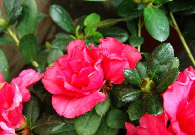 杜鹃花什么时候开花(杜鹃花一年开几次花)