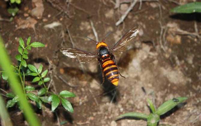 日本大黄蜂的毒性强吗(中国有日本大黄蜂吗)
