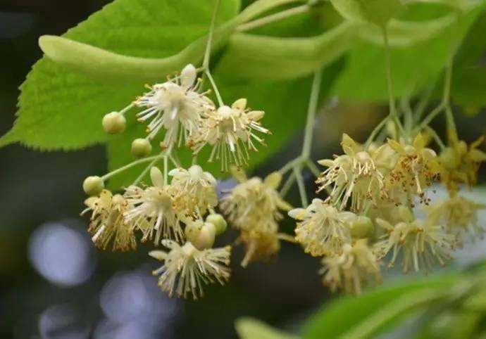 椴树蜜和百花蜜有什么区别(椴树蜜和百花蜜的作用和功效)