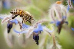 意蜂养殖技术要点及注意事项(意蜂养殖技术经验总结)