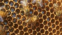 什么是蜂螨(中蜂有蜂螨虫吗)