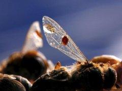 被蜂螨感染的蜜蜂能活多久(蜂螨的寿命有长)