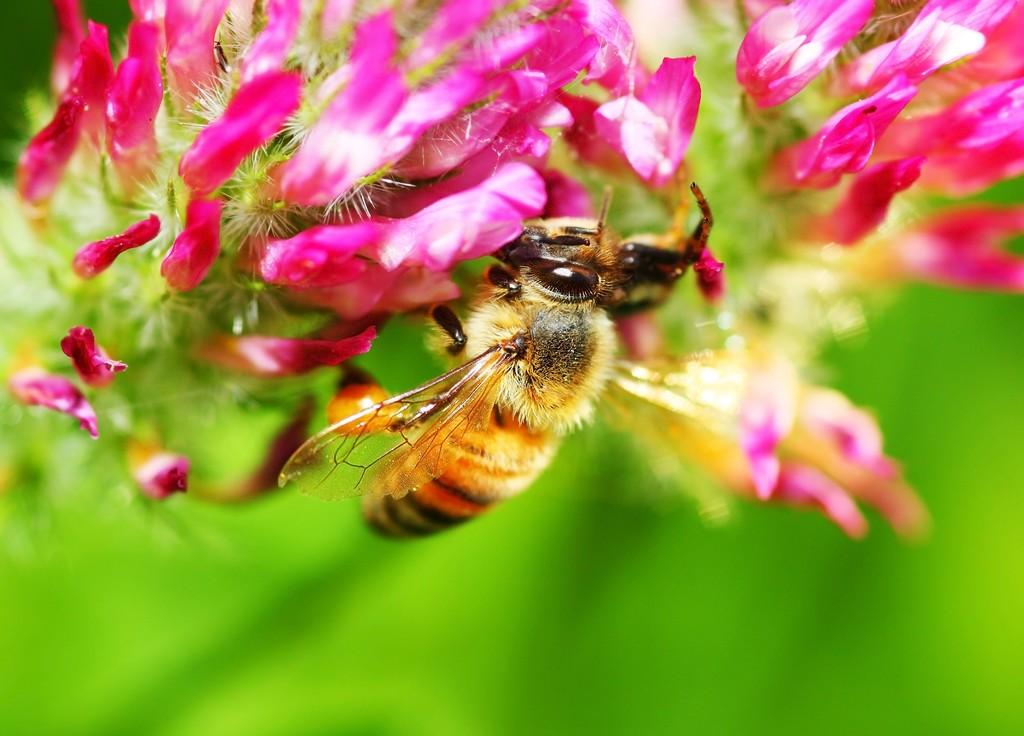 蜂螨对人有害吗(蜂螨的危害是什么)