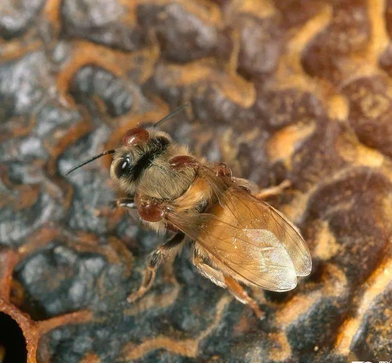 蜂螨防治方法有哪些(蜜蜂蜂螨怎么根治)