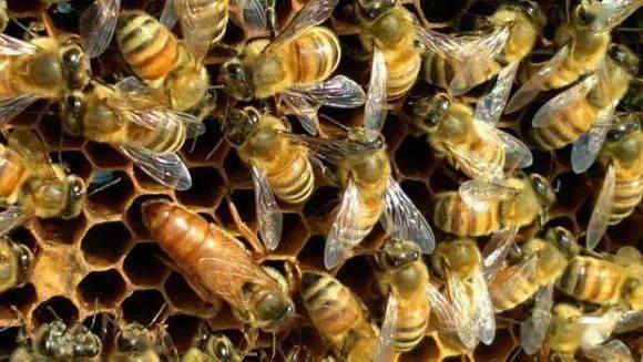 中蜂有蜂螨吗(中蜂长螨虫如何治疗)