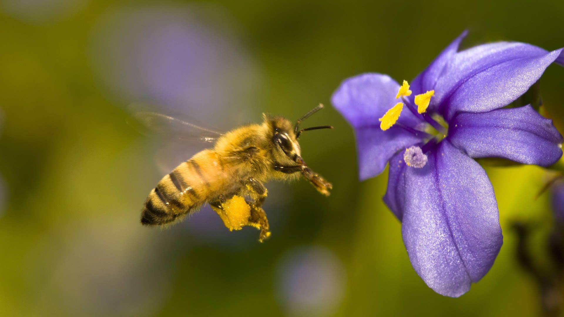 养蜂选择什么品种最好(什么品种蜜蜂最好)