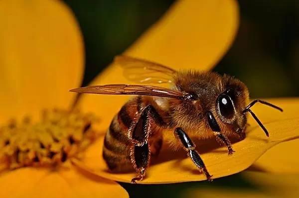 家养蜜蜂和野生蜜蜂有什么区别(野生蜜蜂和)