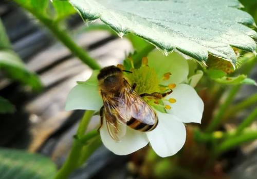 中蜂人工分蜂技术(中蜂人工分蜂要注意什么)