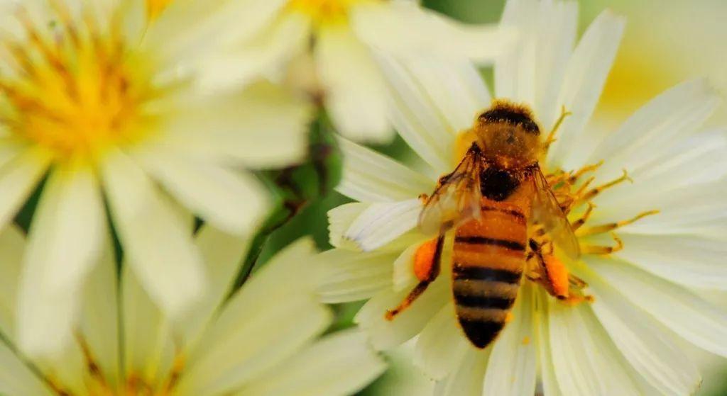 在小区养蜂是合法的吗(城市养蜂违反哪条法律)