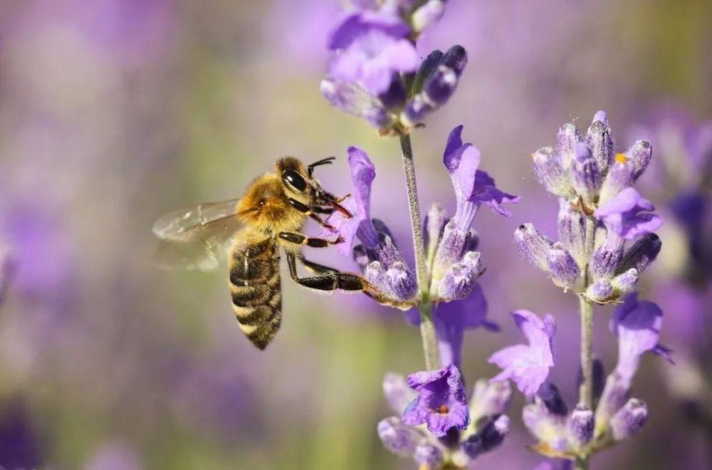 养蜂是什么行业(养蜜蜂属于什么行业属于畜牧业吗)