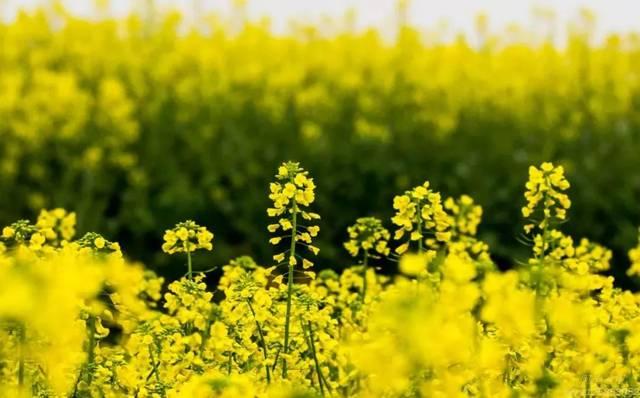油菜蜂蜜是什么(油菜花蜂蜜的功效与作用)