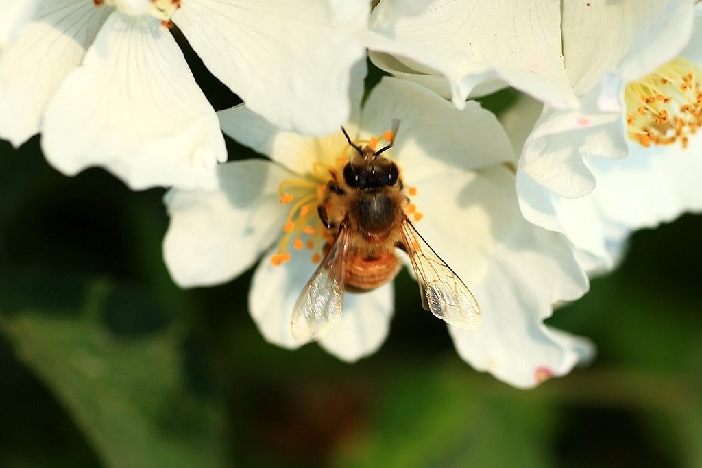 花粉是蜜蜂哪个部位生产的(蜜蜂产的花粉有什么用)
