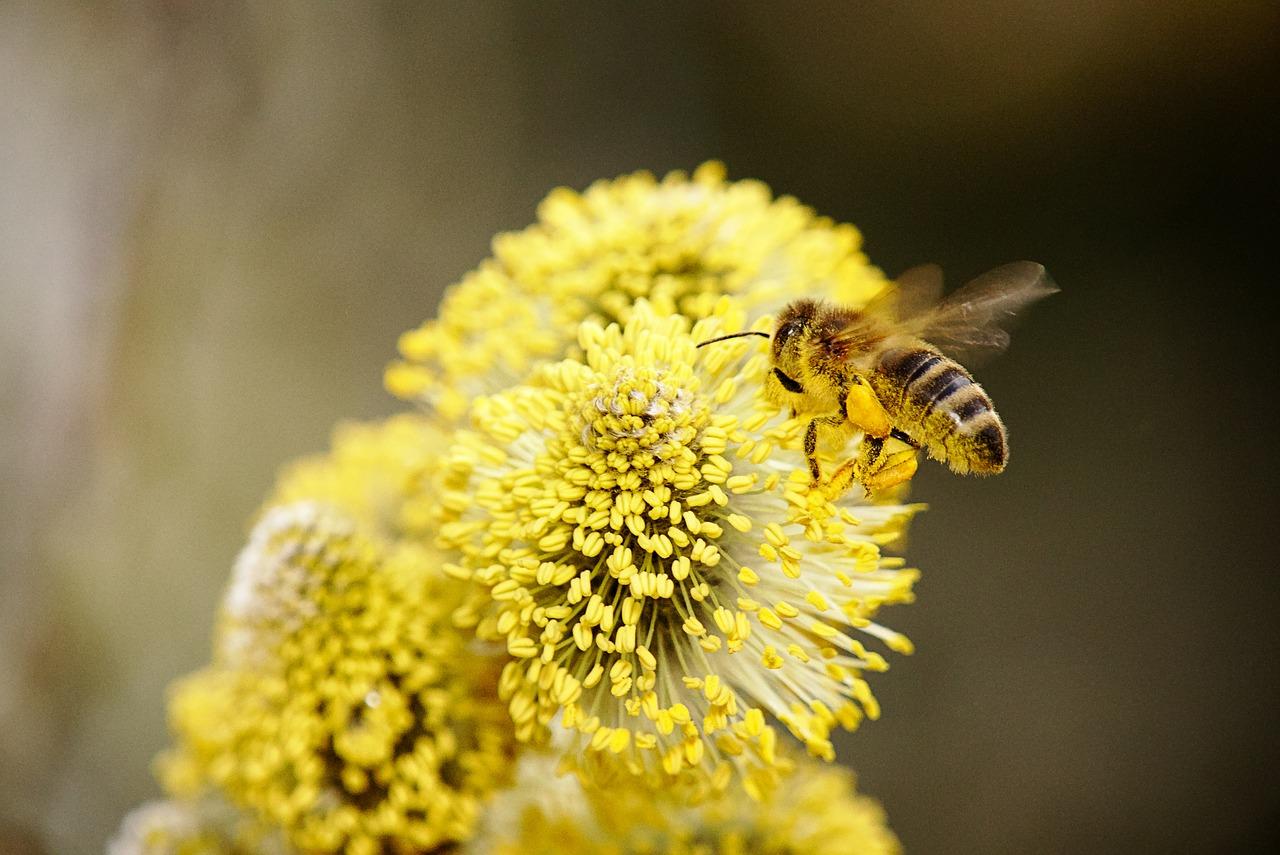 蜜蜂会采集有毒的花吗(蜜蜂采到有毒的花怎么办)
