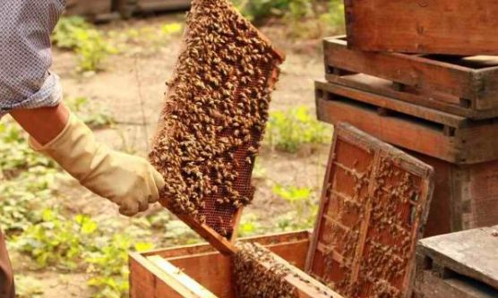 新手养蜂为什么看蜂时蜜蜂特别凶(蜜蜂很凶是什么原因)