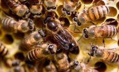 新手养蜂入门蜂王怎么放(新蜂王怎样放进蜂箱)