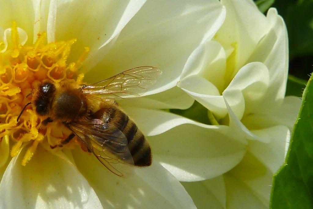 新手养蜂怎么割蜜(土养蜜蜂怎么割蜜)