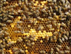 新手学养蜂要找师傅学吗(新手怎么学养蜂)