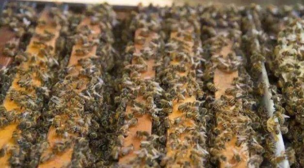 双王同巢同群有可能吗(蜜蜂双王群养殖技术