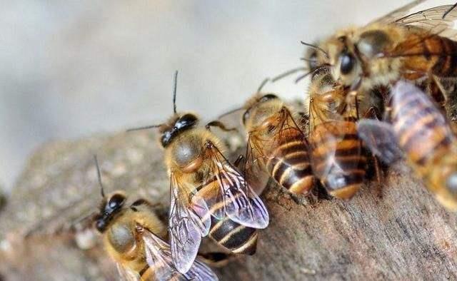 蜂群出现雄蜂要多久会自然分蜂(蜜蜂起雄蜂是不是就要分蜂)