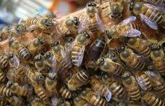 新手养蜂有什么办法能快速找到蜂王(找蜂王最简单的方法)