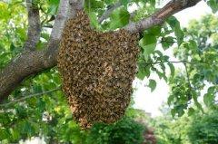 蜂群很强可以分蜂不(蜜蜂怎样分蜂怎样分群)