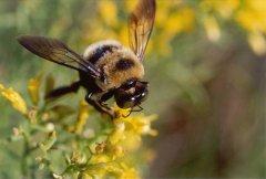 白山6号蜜蜂(白山6号蜜蜂的优点和缺点)