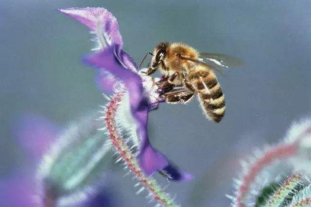 中蜂一年一群可繁殖几群(一群中蜂一年能发展多少群)