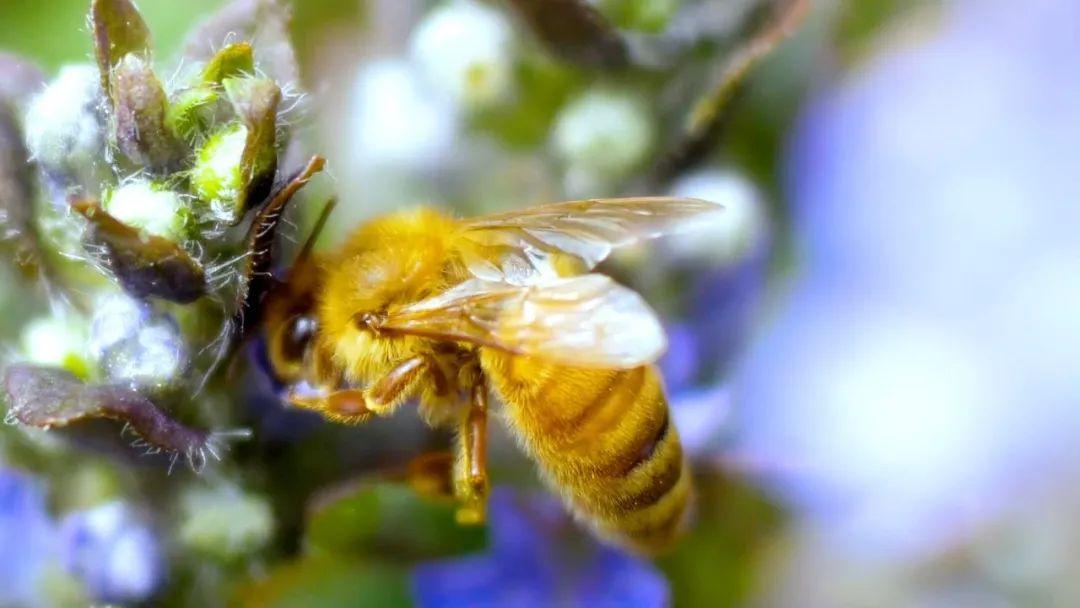 养50箱中华蜜蜂能挣多少钱(养蜜蜂能赚大钱吗)