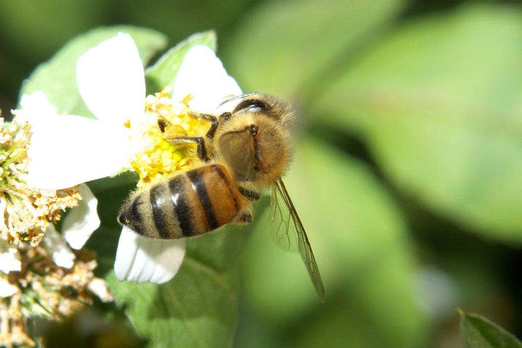 没有王的蜜蜂怎么样养(没蜂王的蜜蜂如何养)