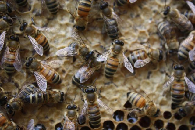 抓住蜂后能控制蜂群吗(蜂王怎么控制蜂群)