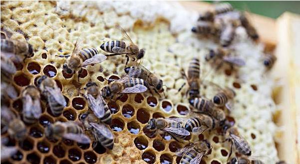 蜜蜂有病怎么看得出来(附带两则蜜蜂疾病诊断法)