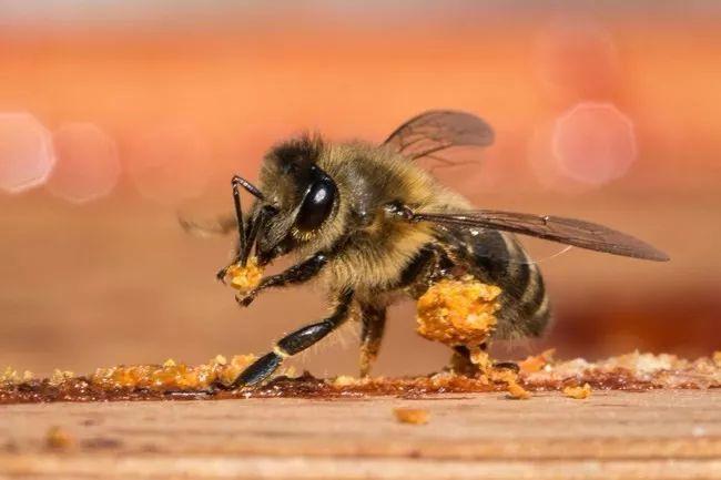 蜜蜂群的构成以及分工(蜜蜂群体的构成)